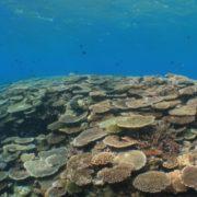サンゴ復活!