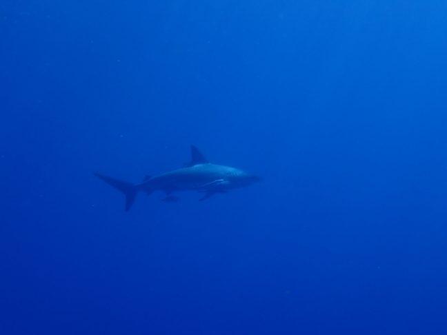 サメとロウニン狙いで万座へ。沖縄ダイビング