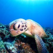 ウミガメいっぱいでした。慶良間|沖縄