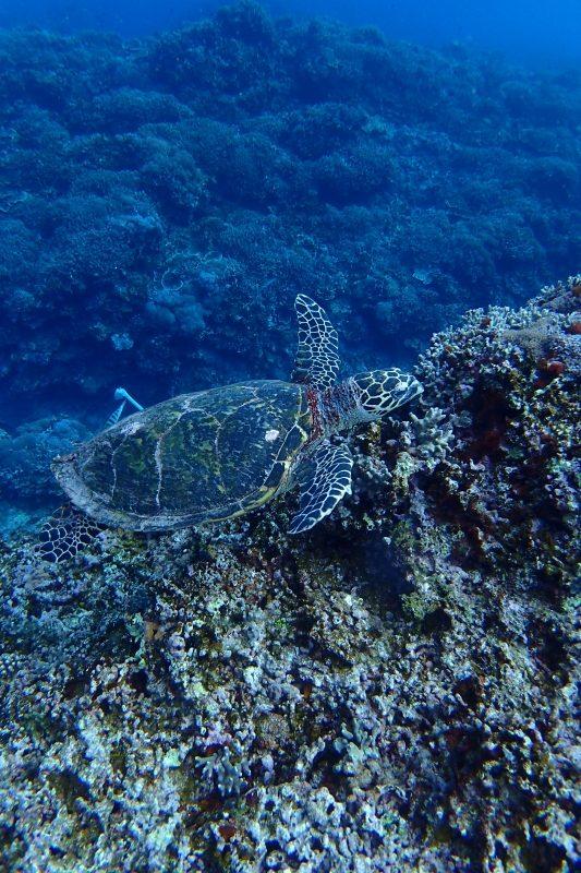 沖縄のウミガメ