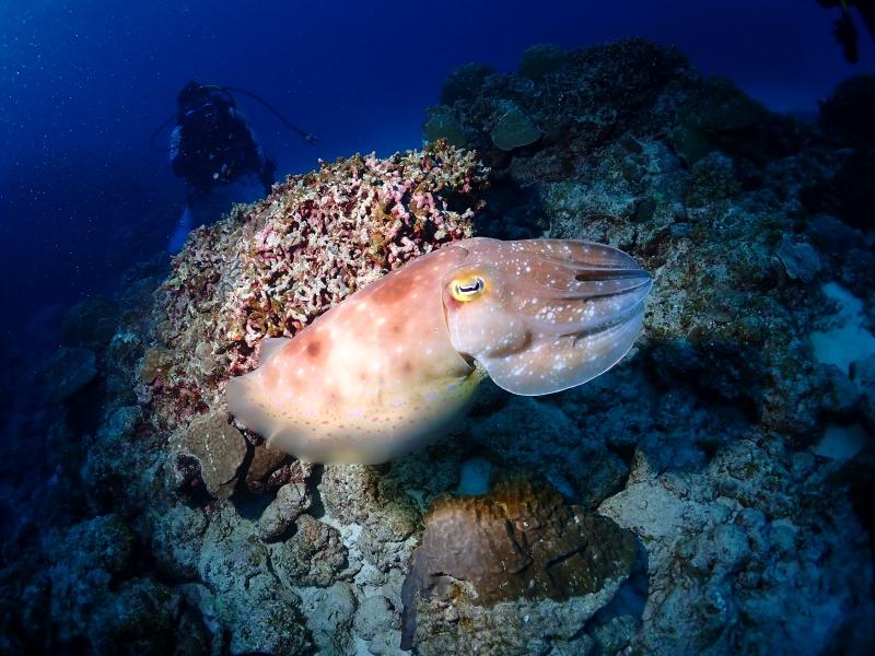 沖縄のコブシメ