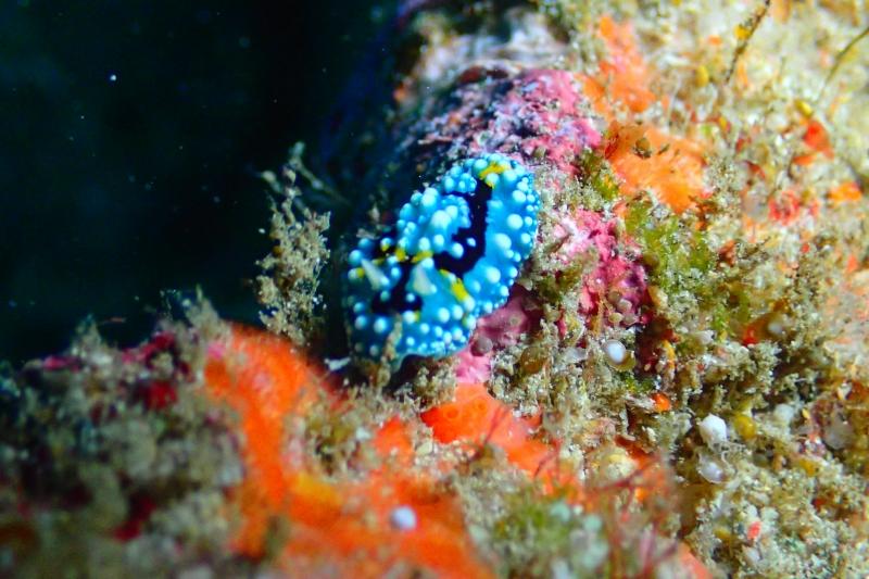 沖縄のウミウシ
