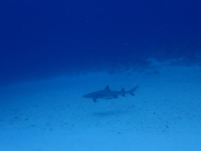沖縄のサメ