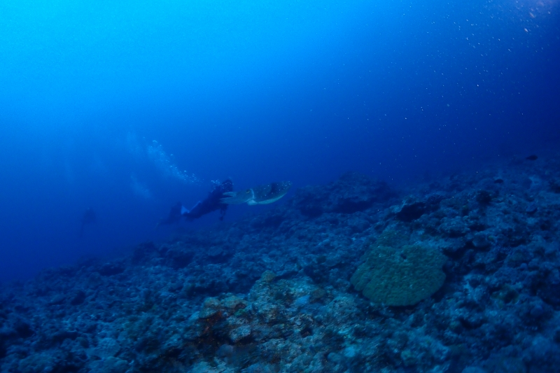 ダイバーとコブシメ